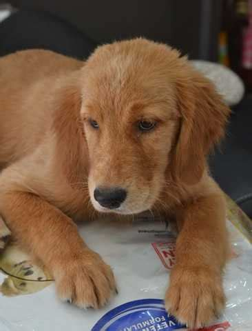 golden retriever puppies for adoption in pa golden retriever puppy breeds picture