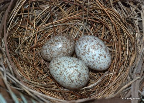 image gallery northern cardinal eggs