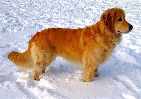 adopt a golden retriever uk 2017 grown appealing golden retriever types pictures images wallpapers