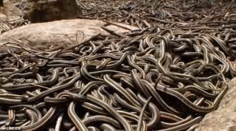 Garter Snake Den She S A Popular Writhing Of