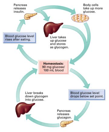 insulin and glucose diagram homeostasis mrs j s science