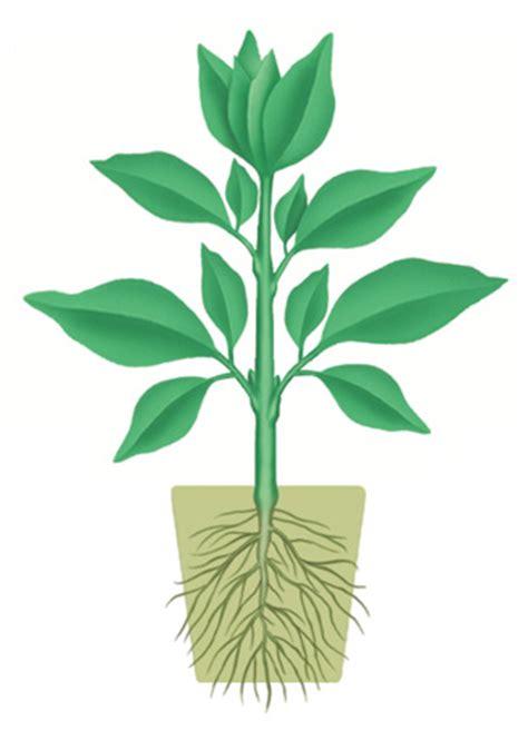 images of plants montessori workjobs montessori botany the plant