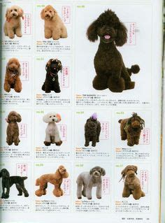 asian style schaunzer hair trim image detail for share poodle grooming styles here dog