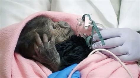 baby delivered by c section rare c section delivery of baby gorilla at san diego zoo