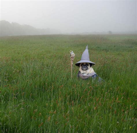 gandalf pug gandalf the pug