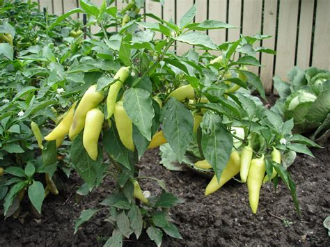 easy plants growing peppers bonnie plants