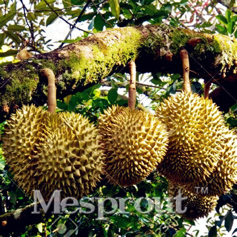 Durian 5pcs popular durian seeds buy cheap durian seeds lots from