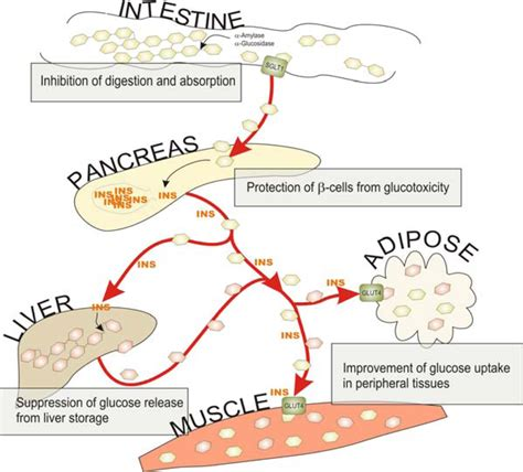 carbohydrates metabolism ijms free text impact of dietary polyphenols on