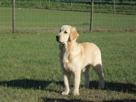 golden retriever 7 months s golden retrievers florida golden retriever puppies golden