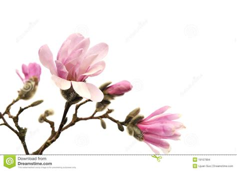 pink magnolia flower www pixshark com images galleries
