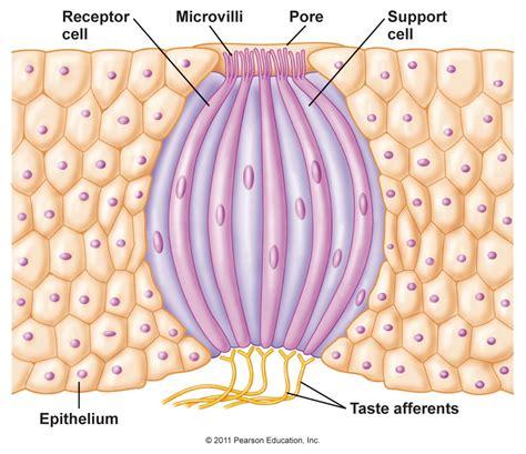 diagram of taste buds chapter 10