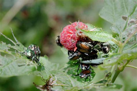 Schädlinge Am Apfelbaum 3521 by Himbeeren 187 Sch 228 Dlinge Erkennen Bek 228 Mpfen