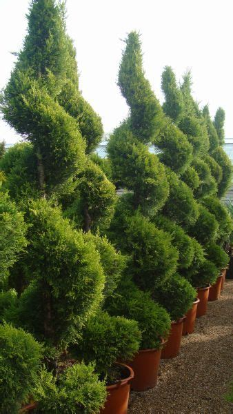 spiral topiaries outdoor outdoor topiary pic spiral topiaries topiary gardens