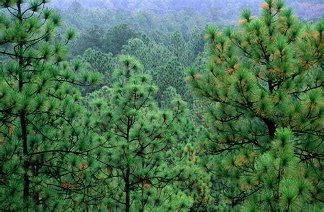 trees nc the state tree of carolina