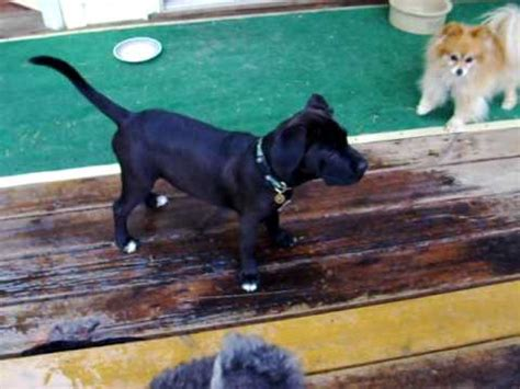 pomeranian lab mix puppies boxer mix for adoption