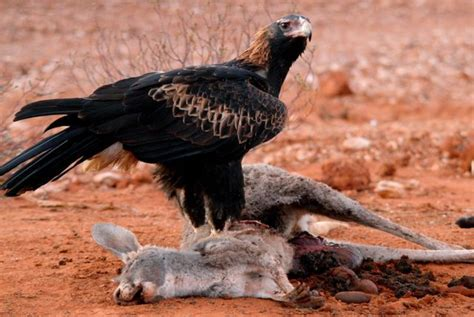 Australian Wedge Tailed Eagle Gives You Some Ideas Of The - flight of the wedge tailed eagle australian geographic