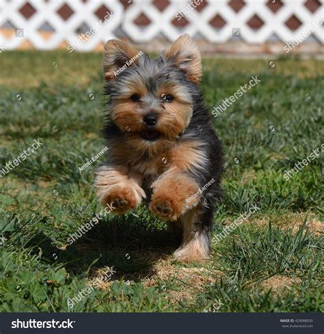 yorkie running happy running yorkie puppy stock photo 429088030