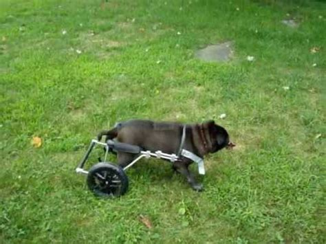 pug in a wheelchair molly jean a black pug with ivdd tries out an eddie s wheels wheelchair