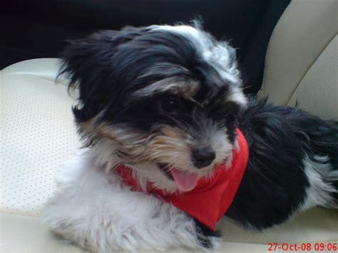 Hair Dryer Anjing animals cara merawat shih tzu