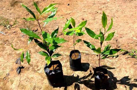 bibit tanaman murah jual bibit cengkeh  bandung