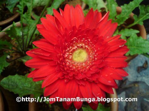 Pupuk Untuk Bunga Teratai cara menanam bunga teratai dari biji tanamanbaru