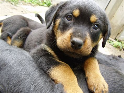 puppies to buy going to buy doberman puppies for sale
