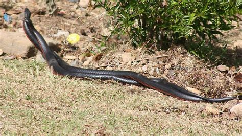 snakes in brisbane backyards snakes emerge early with southeast queensland s warm