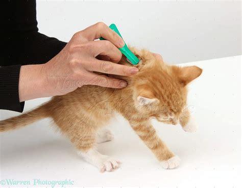 flea treatment flea treatment for maine coons maine coon admirer
