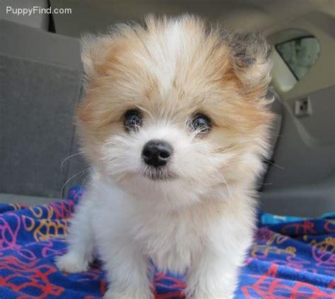 maltese pomeranian puppy pomeranian maltepom youngstown petstercom