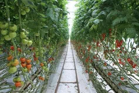 from inside the tomato shed during the tour picture of