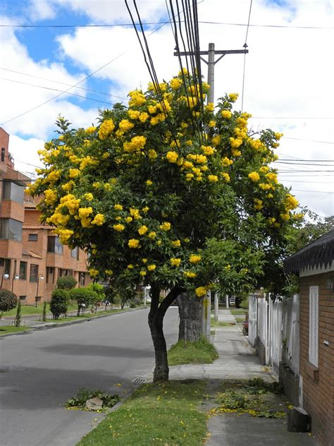top 28 tree with big yellow flowers yellow flowering