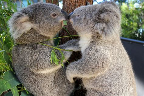 Cozy Koala two cuddly koalas get cozy picture amazing animals from