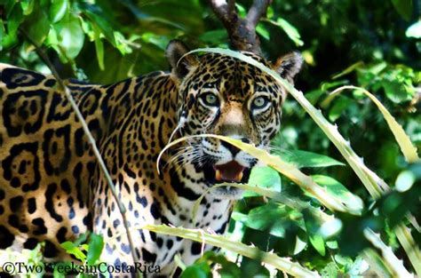 costa rica jaguar the big cats of las pumas rescue center two weeks in