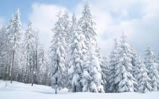 snow covered fir trees wallpaper 416486