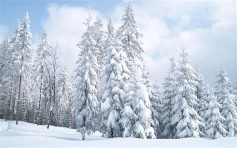 snow tree snow covered fir trees wallpaper 6116
