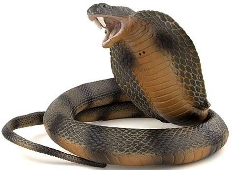 Minyak Ular Cobra 13 manfaat darah ular kobra dan dagingnya bagi kesehatan