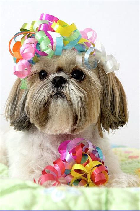 shih tzu birthday shih tzu follow me happy and to find out