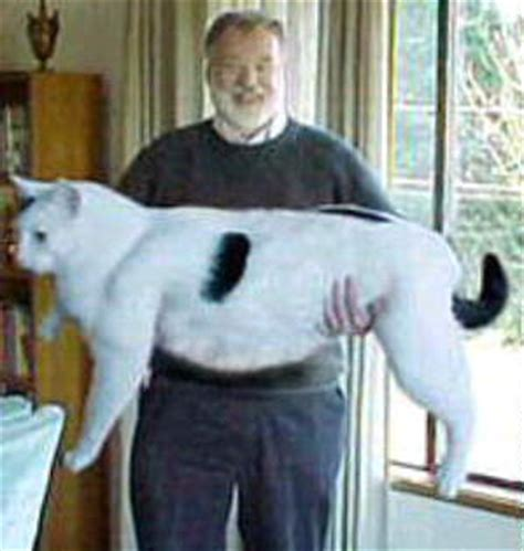 giant house cats picture of a big cat