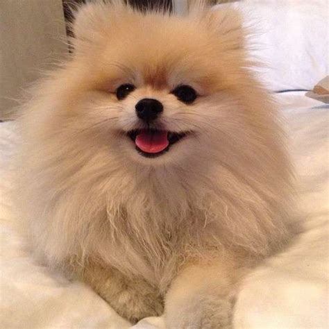 are pomeranians easy to best 25 pomeranians ideas on
