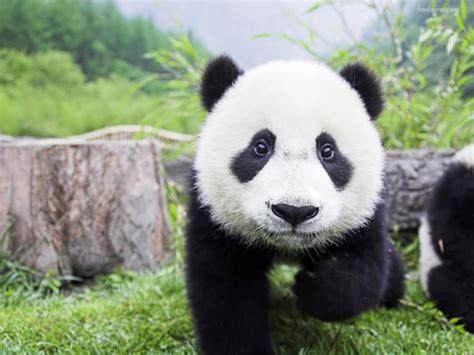 oso panda oso panda el oso panda es la estrella del zoo estilos de vida estilos de vida