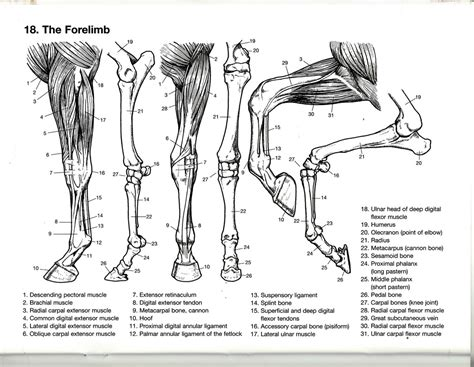 anatomy coloring book vet the forelimb from the dover coloring book of