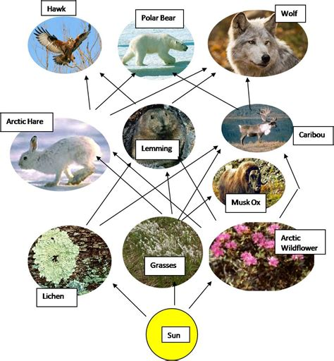 food diagram arctic tundra ecosystem food web diagram tundra biome