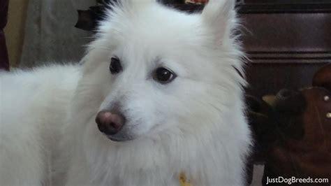 alaskan eskimo puppy american eskimo when dogs fly breeds picture