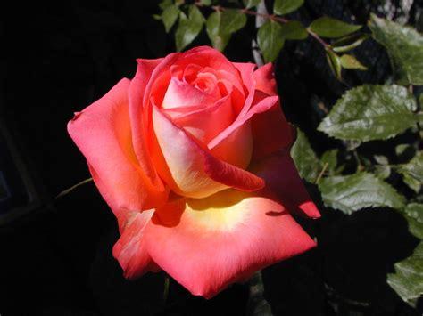 foto fiore file fiore di rosa jpg