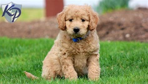 doxie doodle puppies for sale 1000 ideas about miniature puppies on mini