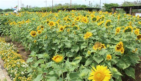 kebun bunga matahari  bikin selfie makin berseri