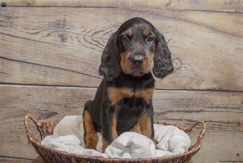 setter dog price hunter gordon setter puppy for sale in pennsylvania