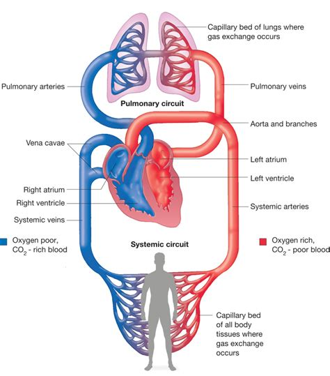 diagram of the and blood flow blood circulation diagram human and blood