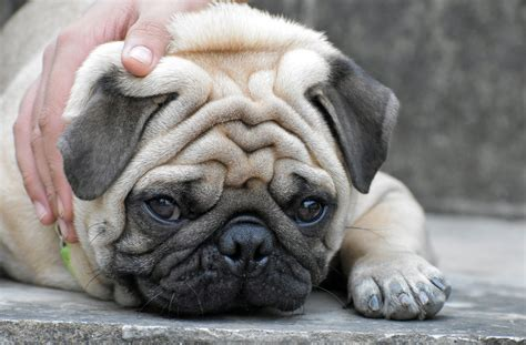 pug teeth problems veterinarians are responsible for the welfare of flat faced dogs international