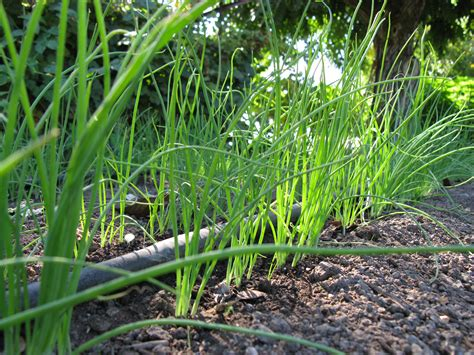 onion growing quick tips harvest to table